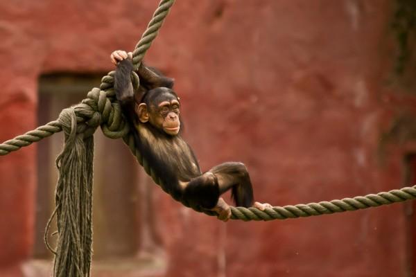 Un mono descansando en la cuerda