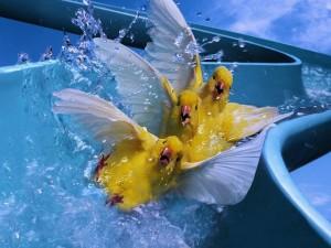 Postal: Canarios en el tobogán de agua