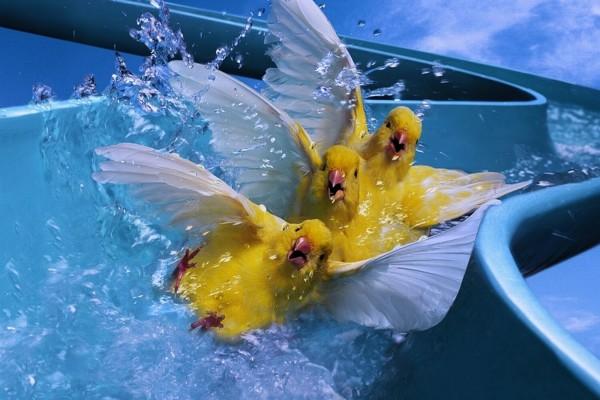 Canarios en el tobogán de agua