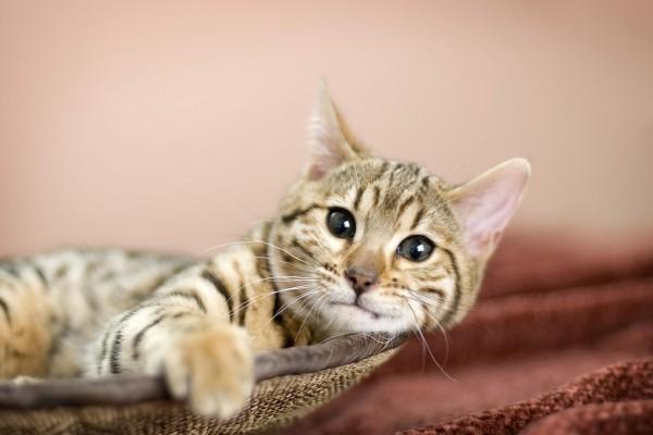 La mirada de un precioso gato