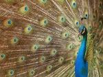 Un precioso pavo real