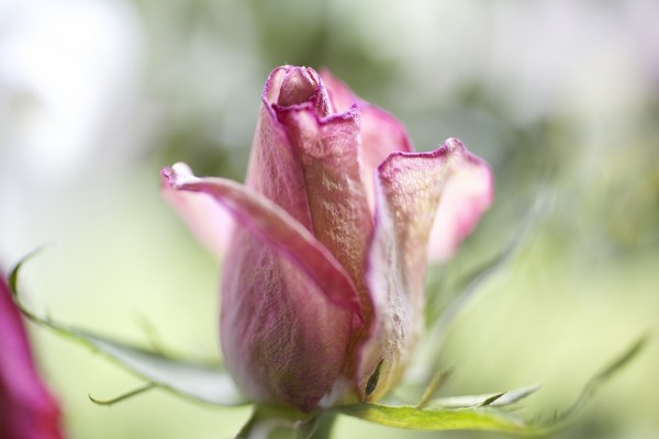 Pimpollo de rosa