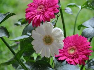 Postal: Gerberas, blanca y rosas