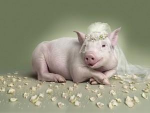 Una cerdita vestida de novia