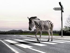 Una cebra cruzando la calle