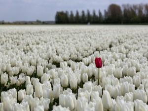 Un tulipán rojo, entre tulipanes blancos