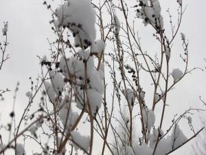 Postal: Nieve en las finas ramas del árbol