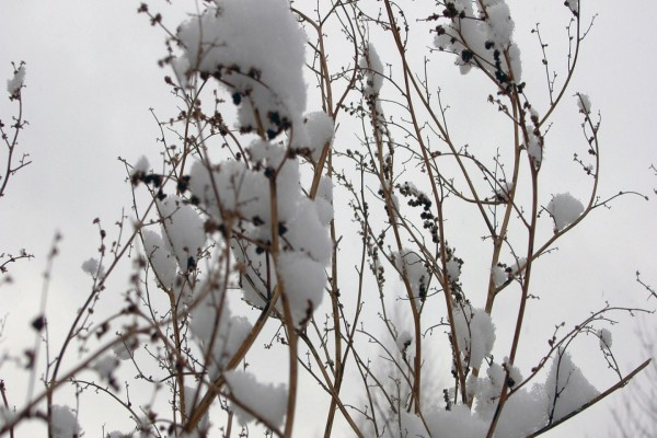 Nieve en las finas ramas del árbol