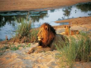 Postal: León reposado en la arena