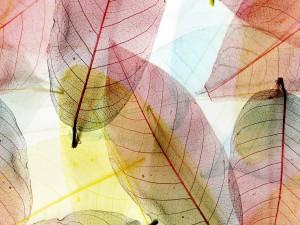 Hojas secas transparentes