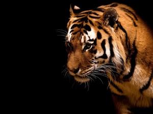 Postal: Un hermoso tigre