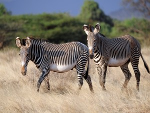 Cebras caminando en la hierba seca