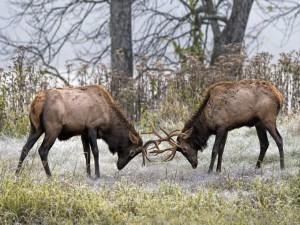 Dos ciervos luchando con sus cuernos