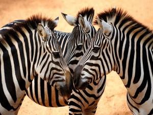 Tres cebras juntas