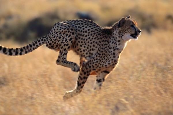 Guepardo corriendo a toda velocidad