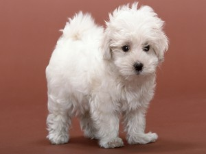 Postal: Tierno cachorro blanco