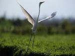Grulla blanca levantando el vuelo