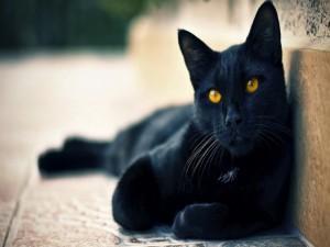 Postal: Ojos color miel del gato negro