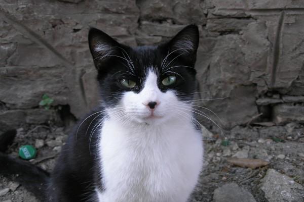 Precioso gato blanco y negro
