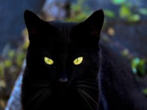 Mirada penetrante de un gato negro
