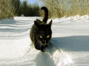 Gato negro caminando en la blanca nieve