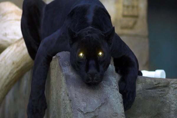 Los brillantes ojos de la pantera
