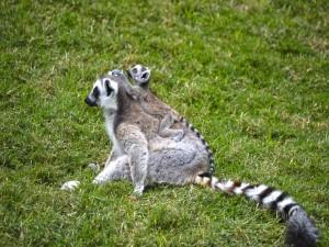 Postal: Lemur con su cría