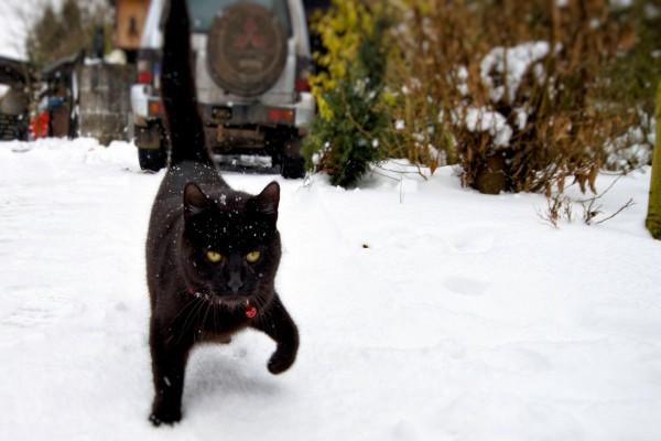 Gato con cascabel rojo, de paseo por una calle nevada