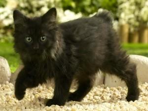 Gatito negro en las piedras