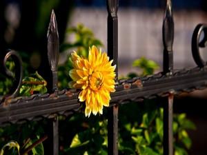 Flor amarilla embelleciendo la cerca