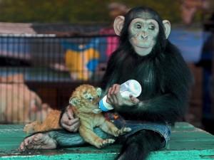 Mona alimentando a un cachorro de león