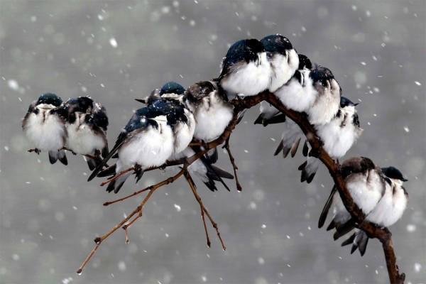 Cae la nieve sobre los pajaritos