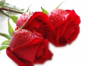 Tres preciosas rosas rojas