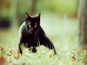 Postal: Gato negro observando con atención