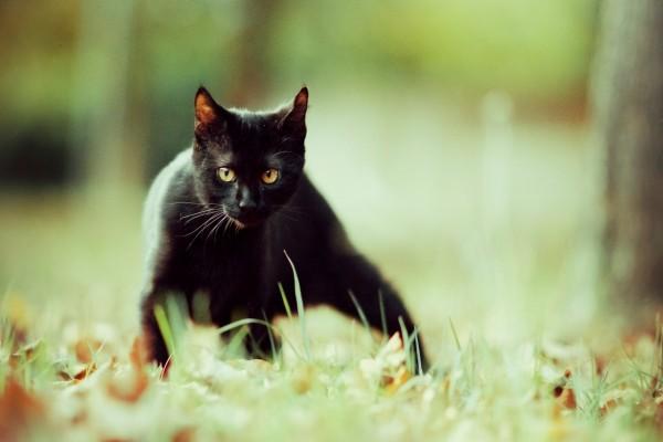 Gato negro observando con atención