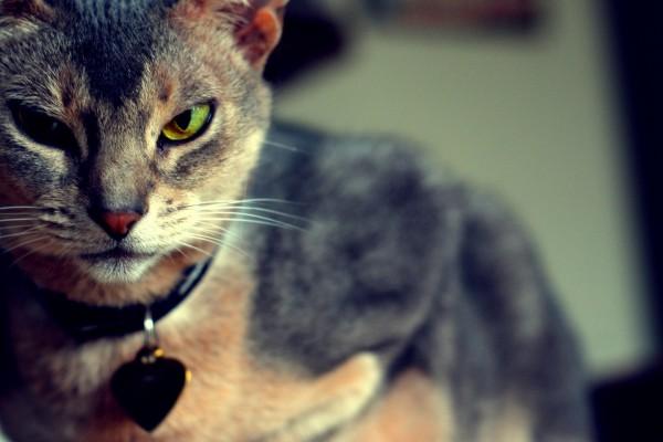 Gato con un corazón en el collar