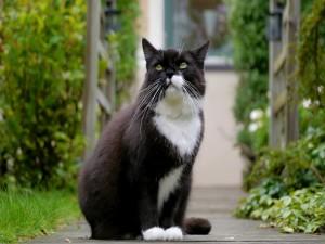 Un hermoso gato negro y blanco