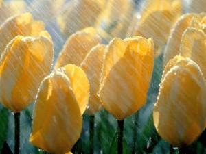 Postal: Lluvia sobre los tulipanes