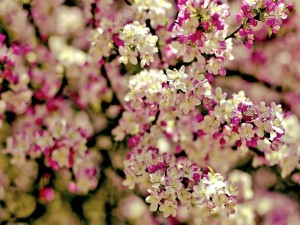 Postal: Florecillas rosas y blancas, en las ramas del árbol