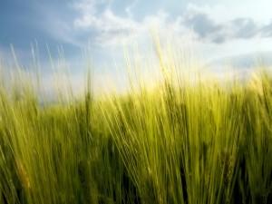 Postal: Espigas verdes de trigo