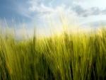 Espigas verdes de trigo