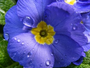 Una gran flor con gotas de agua