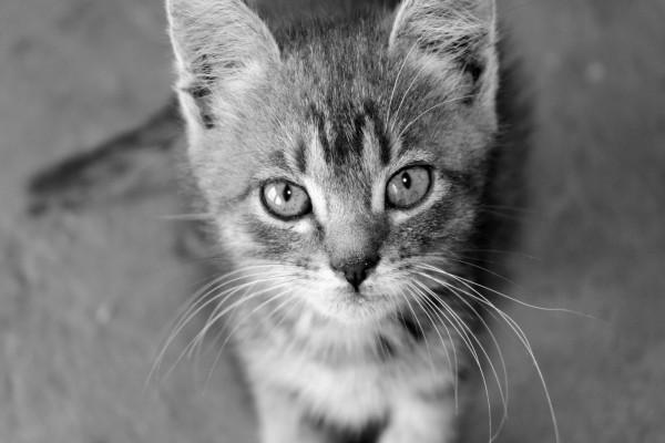 Gatito en blanco y negro