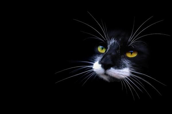 La cara de un gato negro con el bigote blanco