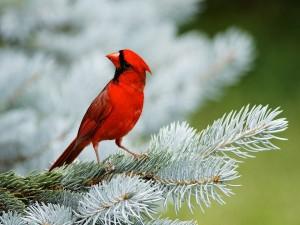 Postal: Un pájaro rojo sobre la rama