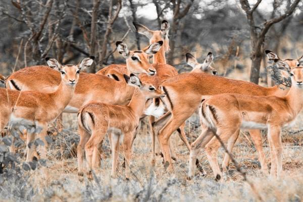 Manada de impalas