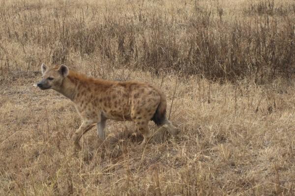 Una hiena solitaria