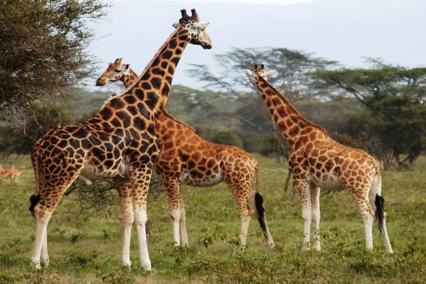 Preciosas jirafas en su hábitat