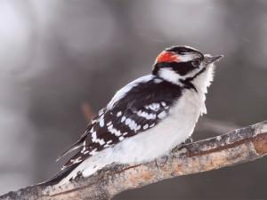 Un pájaro carpintero velloso
