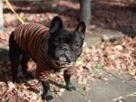 Un perro vestido y con correa